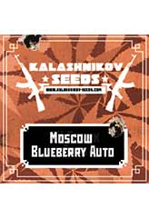 Moscow Blueberry AUTO 100% (5) order at Hipersemillas